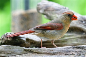 Female Cardinal eating lunch
