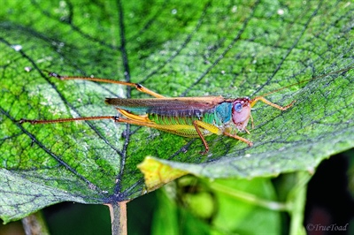 Not quite a Painted Grasshopper but close