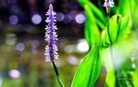 Purple water flower in marsh