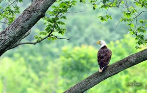 A Bald Eagle perches in a tree off in the distance