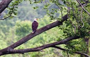 A Bald Eagle Taken with a Nikon 400mm ED FL Lens