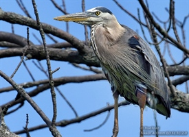 The Great Blue Heron sitting in a tree