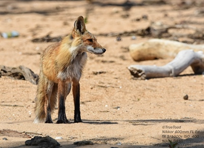 An American Red Fox