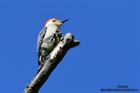 Reb Bellied Woodpecker