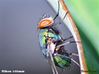Full Crop Fly - Nikon