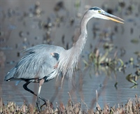 Great Blue Heron Calling Out