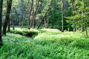 A green carpet of forest ferns