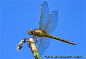 Dragonfly shot with a Nikon Mirrorless and  Loawa 100mm macro lens