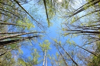 Forest canopy taken with a diagonal fisheye