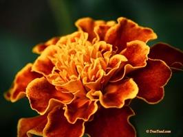 Large orange flower - Nikon 105mm Macro