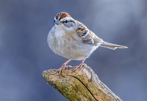 A Small Chipping Sparrow Perched