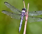Dragonfly sitting on a stick