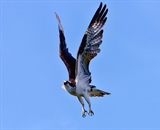 Osprey about to dive into water for fish