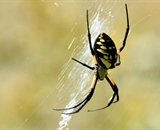 The Yellow and Black Garden Spider - Orb Spider